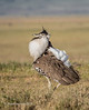 Kori Bustard full display