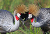 Grey-Crowned Crane Heart